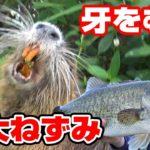 巨大ねずみを触ってみた結果が!!【琵琶湖バス釣り・ビッグパドル】