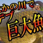 街なかの川で!?想像以上の超デブ巨大魚捕獲の一部始終!!