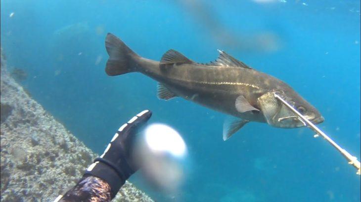 【魚突き】乗っ込みシーズン開幕!日本海で魚突き(前半戦)