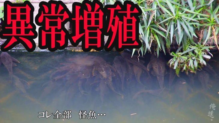 沖縄の川で異常に増えすぎた外来魚を捕獲する方法が…