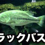 【潜入】ブラックバス水族館!