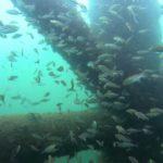 【衝撃】大阪の海釣り公園で大型石鯛を追う!【水中映像】