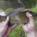 【近所の川でバス釣り】やっと今季初のスモールが釣れた