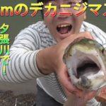【釣り】夕張川で50㎝位のニジマス釣れる!!