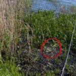 【衝撃】草の中にルアーを落としたら、とんでもない巨大魚が出現した