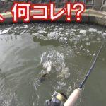 雑種?突然変異?ドブ川で鯉釣りをしていたら、図鑑にも載っていない魚が釣れた