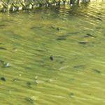 謎魚が異常発生してる川にエサを落とすと…【重大告知アリ】