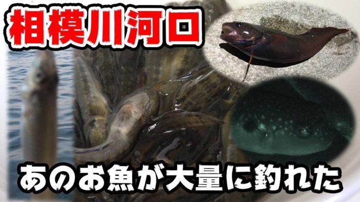 【釣り】ちっちゃいお魚が大漁!!【相模川河口】