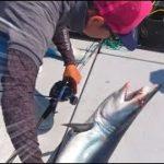 タチウオを狙っていると人食いザメが釣れてあわや大惨事!