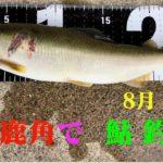 鹿角で鮎釣り 米代川 19.8月 #3 -友釣り-
