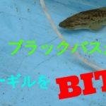 ブラックバスがブルーギル四匹を捕食 Pet Bass Eats 4 Bluegills Pepperchan