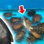 大量の腹ペコ亀が泳ぐ池にブラックバス丸々1匹を投入した結果・・・やば過ぎた