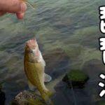 琵琶湖で小型ブラックバス入れ食い!初心者でも簡単に釣れるゾ