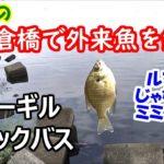 荒川の羽根倉橋で外来魚を釣る!【ブラックバス・ブルーギル】