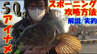 【アイナメの釣り方】11月スポーニングで外さないためのアイナメの攻略法・スポーニングアイナメの行動パターン解説