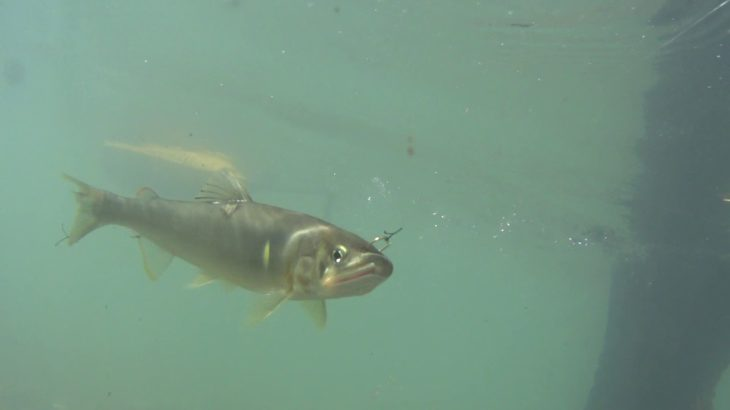 <オトリ鮎の泳ぎ>第190回 仁淀ブルー『女流アユ釣り師に訊く、「友釣りってむずかしいですか?」』