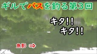 バスはギルで釣る #3  梅雨バス3匹!! 「K池 巨バスを狙う」編