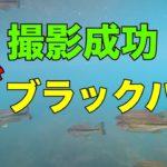 ブラックバス大群  撮影成功!!4K水中映像 西湖編