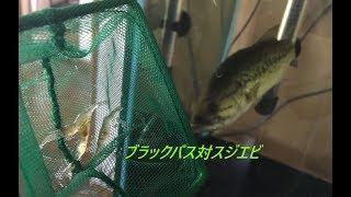 ブラックバスがスジエビを捕食 Largemouth Bass Eats Shrimp