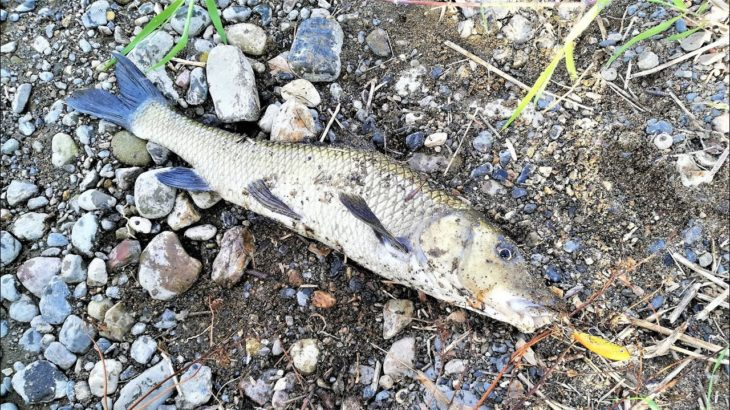 【釣り・рыбалка в японии(Озеро Бива)】琵琶湖でバス釣り@釣れたのはやっぱりニゴイ!【VLOG・P20 Lite】