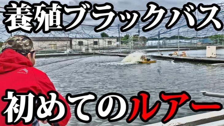 【興味】ブラックバス養殖池にルアーを投げてみると・・【外来魚】