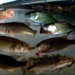 【ブラックバス激減】琵琶湖の推定生息数はバサー1人当たりたったの17匹?!