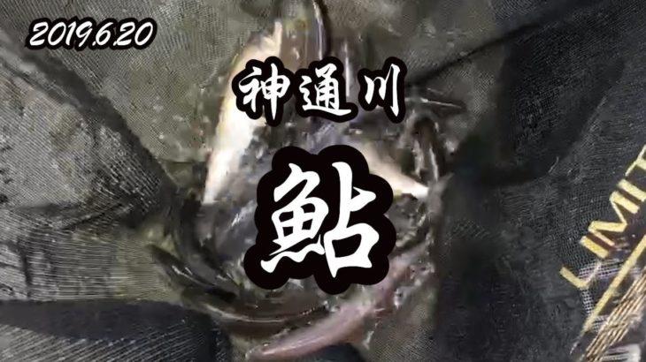 2019 6 20 神通川 鮎釣り