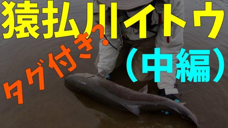 猿払川イトウ釣り 2019年秋冬シーズン(中編2/3)タグ付きのイトウが!2019年10月25日 北海道 フライフィッシング Hokkaido Fishing Hucho perryi 後編に続きます