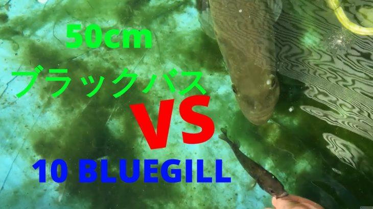 50cmブラックバスがブルーギル10匹を捕食 5lb Pet Bass Eats 10 Bluegill Pepperchan