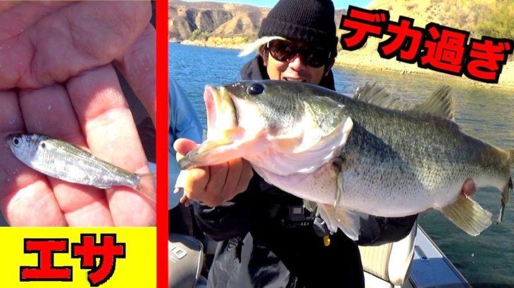 小さな魚を餌に釣りしたらアメリカの巨大魚がすぐ釣れた!
