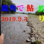 鹿角で鮎釣り 米代川 19.9.3 -友釣り-