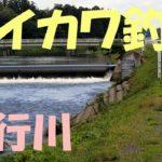 331_【五行川】【オイカワ釣り】五行川_04_Oikawa Fishing Gogyou River in Japan 2019 Following Wild Fishes