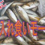 早朝に小アジ入れ食い(^Д^)   鳴尾浜海釣り公園   フィッシングマックス武庫川店