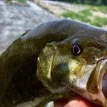 川スモール BIGスモールマウスバス 拾った!  川釣り ルアー で 大物を拾う