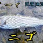 【滋賀】ニゴイのルアー釣り!東岸の琵琶湖流入河川にて【川釣り】