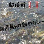 『超接近』琵琶湖産鮎の餌やりシーン