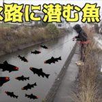 冬の用水路はお魚パラダイス!!