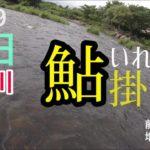 【入れ掛】解禁待ち遠しい 阿仁川8月爆釣鮎釣り