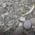 鮎釣り日記19 9 11