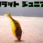 ギルフラットジュニアを水中観察 #バス釣り