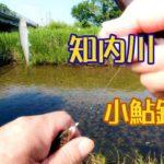 滋賀県☆知内川の小鮎釣り!結構釣れました!