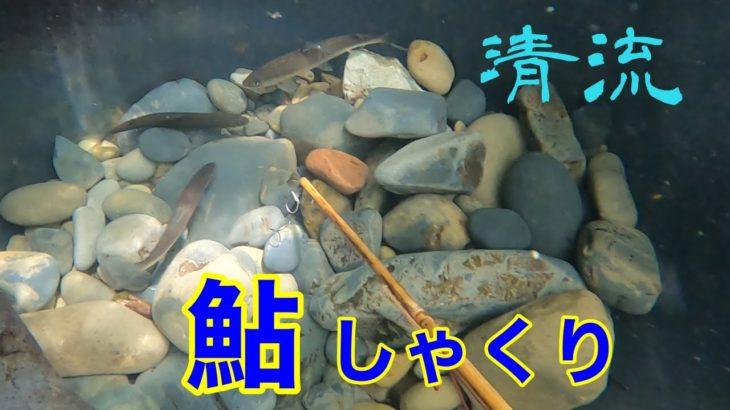 小鷹網を張って鮎しゃくり漁part.2