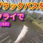 ブラックバスをフライで釣る(毛針) 超小型バスを小さな毛針で釣って遊んでみた バス釣り