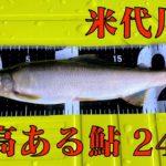 米代川で鮎釣り -秋田県鹿角地区- 2020.8.26