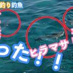 鵜来島でグレを狙って磯釣りのはずが・・青物が乱舞する!(釣魚 磯釣)