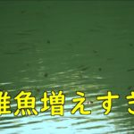 ブラックバス観察 10月25日 稚魚増えすぎ!!