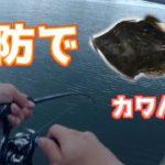 【堤防でカワハギ釣り】釣って楽しい!食べて美味しい魚!