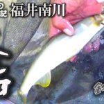 【尺鮎狙いシリーズ】秘密の川で大アユ釣りに挑戦!福井県南川