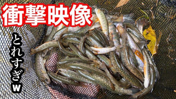 【衝撃映像】無限に渓流魚が捕れるとんでもない河川を見つけてしまった。【ガサガサ】