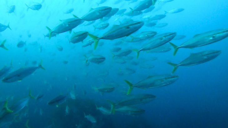 水深14mでとんでもない魚群が急接近!目を疑う光景だった!【日本海で魚突き】